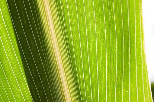 Corn, Zea Mays, Cereals, Food, Autumn, Kukuruz