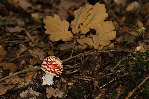 Toadstool, Red, Toxic, Fungus, Macro, Nature, Moss