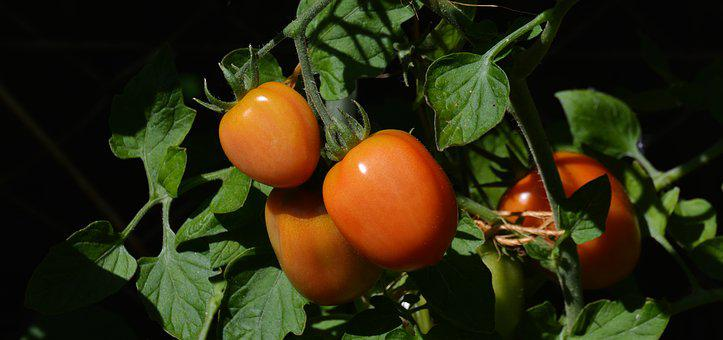 Tomatoes, Roma Tomatoes, Garden, Vegetable Growing