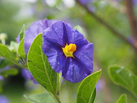 Gentian Shrub, Flowers, Purple, Violet, Yellow