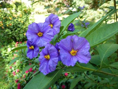Container Plant, Gentian Shrub, Solanum, Blue