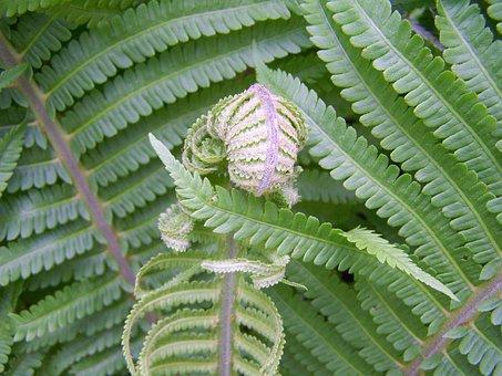 Fern, Green Plants, Snail-shaped New Leaf