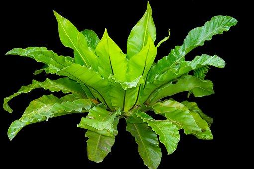 Kadaka, Leaves, Fern, Bird's Nest Fern, Asplenium
