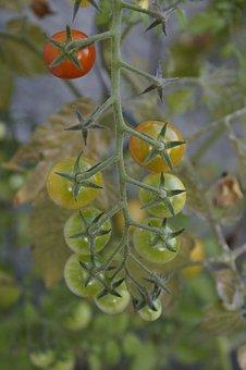 Tomatoes, Tomato Plant, Maturity Level, Mature
