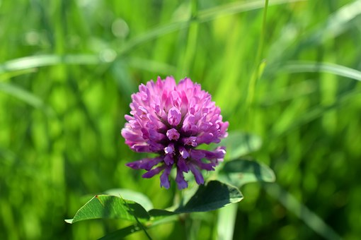 Clover, Pink, Purple, Meadow, Green, Flower, Nature