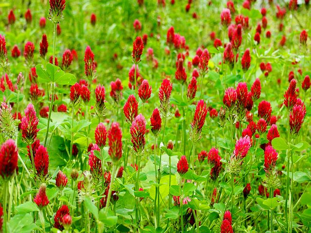 Crimson Clovers, Field, Red, Meadow, Nature