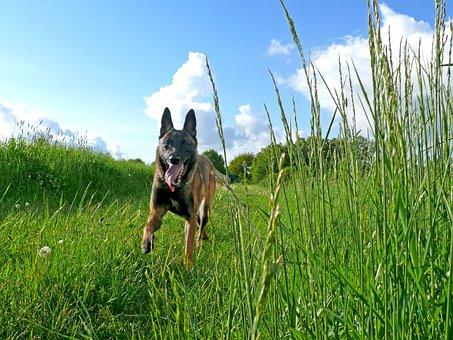 Dog, Malinois, Belgian Shepherd Dog, Fast, Run, Nature