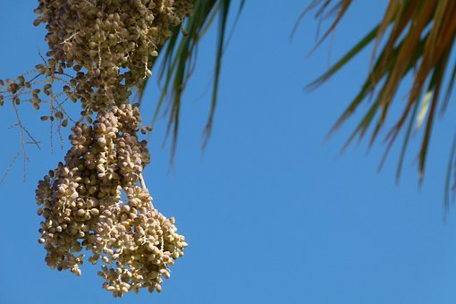 Palm, Dates, Fruit, Withered, Nature, Close-up, Sky