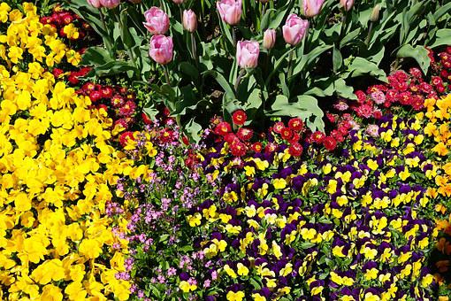 Flower Bed, Pansy, Tulips, Yellow, Purple, Flower