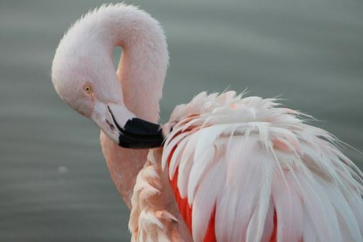Phoenicopterus Chilensis, The Chilean Flamingo