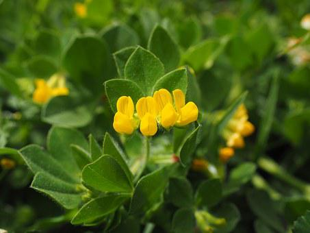 Silver Clover, Blossom, Bloom, Plant, Yellow, Flower