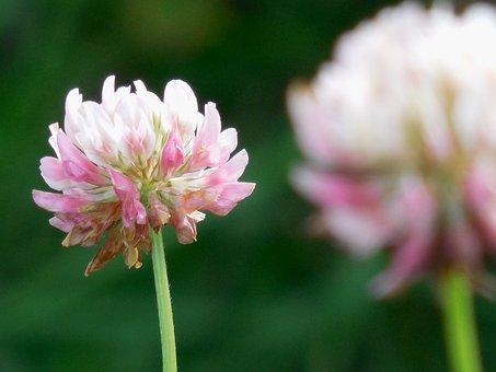Flower, Clover, Nature, Plant, Green, Summer, Leaf