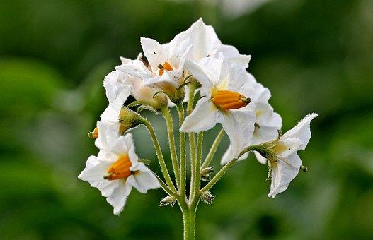 Potato Blossoms, Potato, Solanum Tuberosum, Flowers