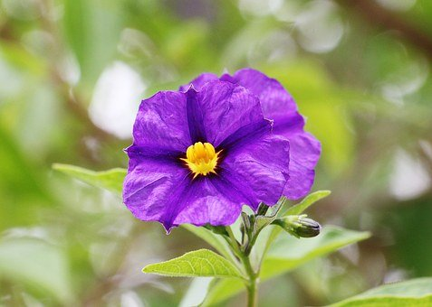 Gentian Shrub, Gentian Flower Shrub, Potato Tree