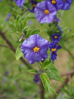 Gentian Shrub, Flowers, Purple, Violet, Yellow