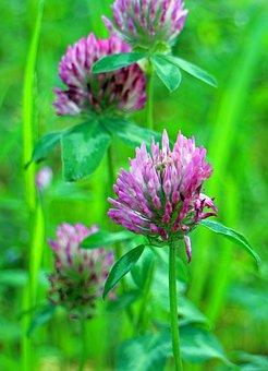 Red Clover, Klee, Trifolium Pratense, Flowers, Purple