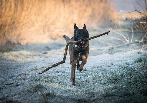 Race, Malinois, Belgian Shepherd Dog, Dog Run, Winter