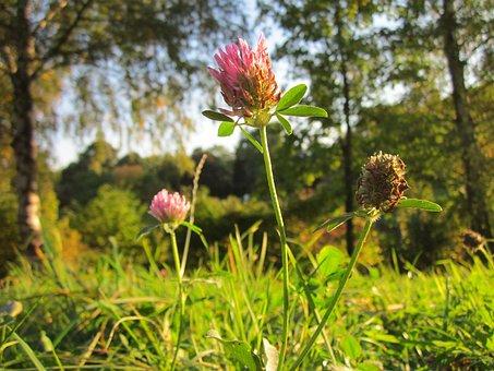 Trifolium Pratense, Red Clover, Plant, Flora, Botany