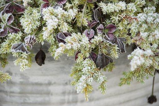 Red Clover, Cloverleaf, Pot, Planting, Frost, Per Se