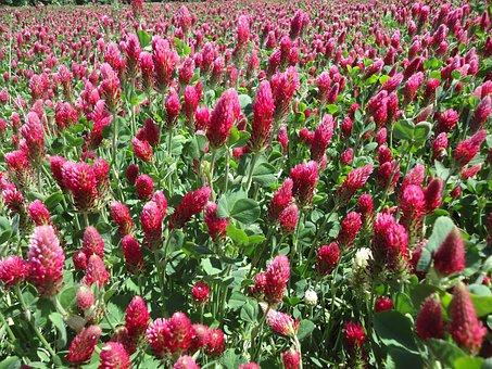 Clover, Red, Meadow, Field