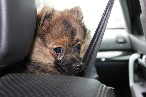 Spitz, Sobaka, Animal, Pets, Car, Safety Belt