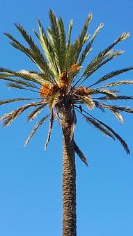 Dates Palm Tree, Blue Sky, Morocco, Up High, Straigth