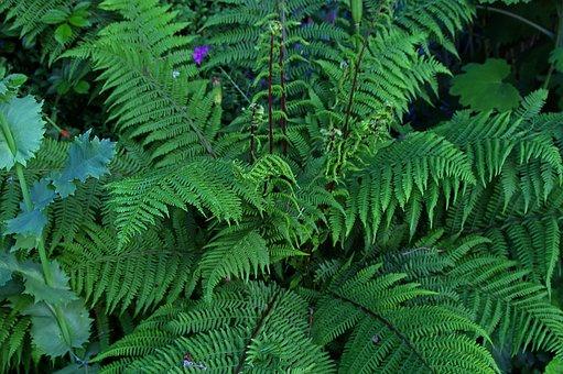Fern, Fiddlehead, Plant, Nature, Green, Forest, Summer