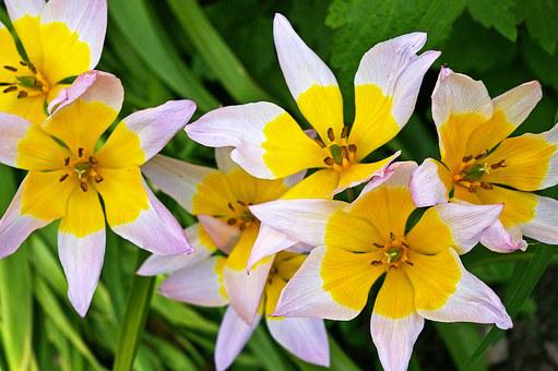 Tulips, Yellow Tumor, Bicolor Tulip, Spring, Blossom