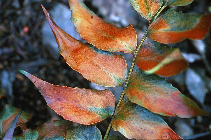 Fern, Autumn, Nature, Yellow, Forest, Season, Fall