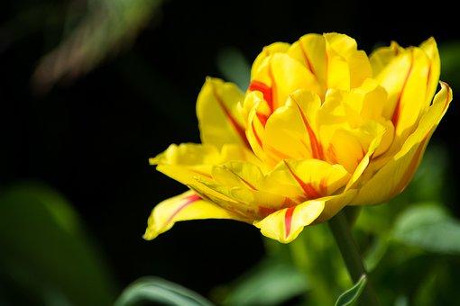 Tulip, Yellow Red, Yellow, Yellow Tumor, Blossom, Bloom