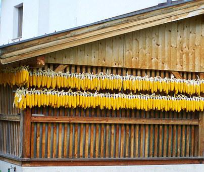 Fodder Corn, Yellow Tubes, Agricultural Plant