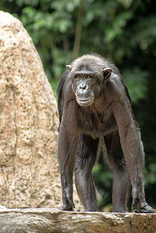 Zoo, Animal, Gorilla