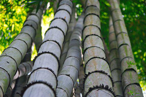 Trunk, Nature, Plant, Bamboo, Flora, Forest