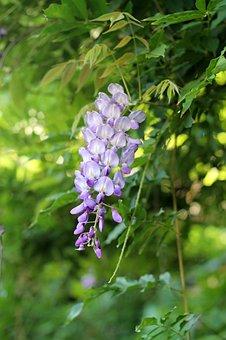 Nature, Flower, Bush, Purple, Cluster, Spring, Flowers