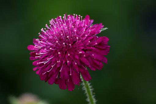 Knautia Macedonica, Beemdkroon, Purple, Flower