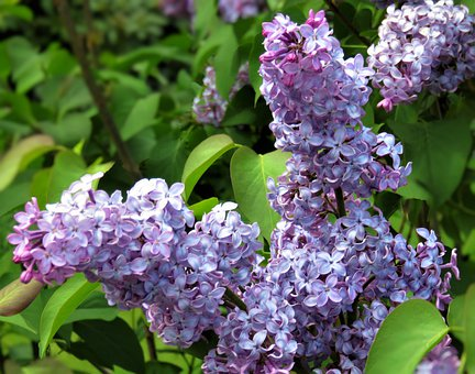 Lilac, Flowers, Flora, Garden, Spring, Ornamental Plant