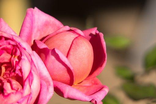 Peony, Bud, Blossom, Bloom, Pink, Purple, Violet