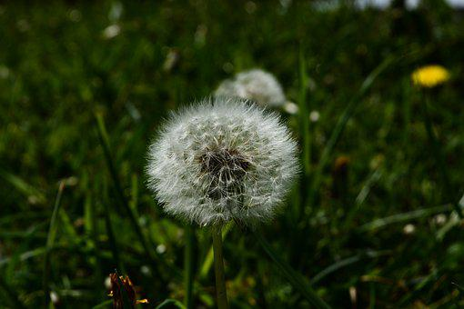 Dandelion, Meadow, Spring, Summer, Bloom, Plant, Nature