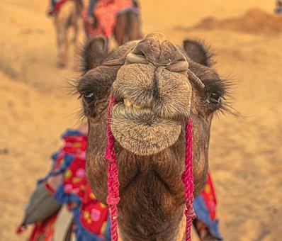 Camel, India, Rajasthan, Pushkar, Desert