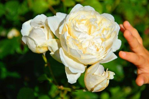 Flower, Rosa, Hand, Bimba, Nature, English, Garden