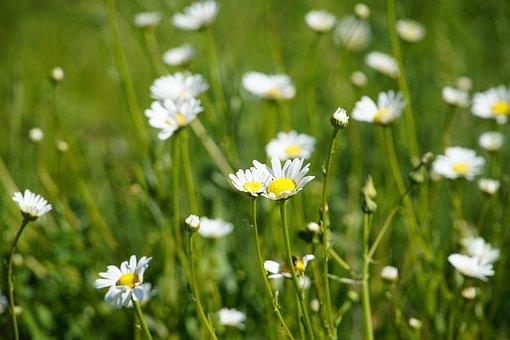 Summer, Flowers, Meadow, Margerite