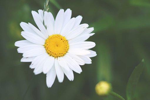 Daisy, Flower, White, Summer, Spring, Pretty, Floral