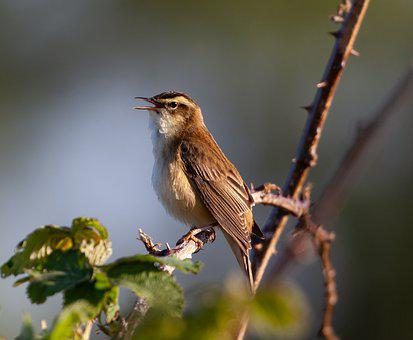 Sedge Warbler, Old World Warbler, Acrocephalus