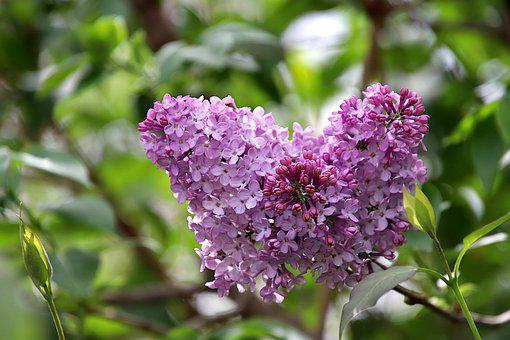 Lilac, Flowers, Color Pink, Fulfillment