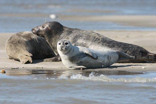 Phoque Veau Marin, Grey Seal, Species, Mammals, Nature