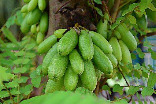 Fruit, Healthy, Sour, Vitamins, Juicy, Cucumber Tree