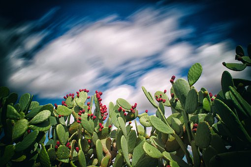 Puglia, Italy, Nature, Trees, Prickly Pears, Campaign