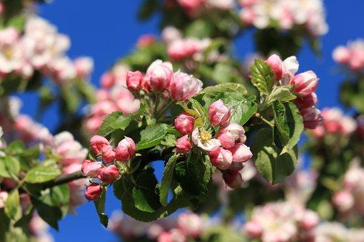 Apple Blossom, Spring, Apple Tree
