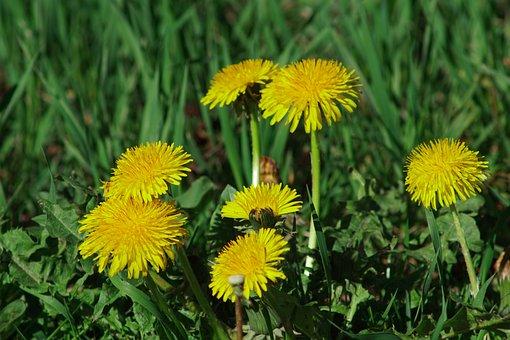 Dandelion, Spring, Meadow, Dandelions, Close Up, Bloom