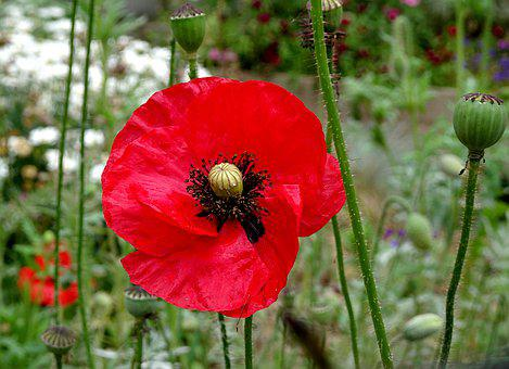 Poppy, Poppies, Dark Red Color, Spring